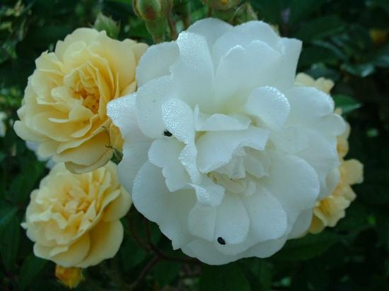 800x600rosa-ghislaine-de-feligonde-detail-fleurs.jpg